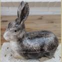 Oude pate vorm konijn ( zwart ), Michel Caugant